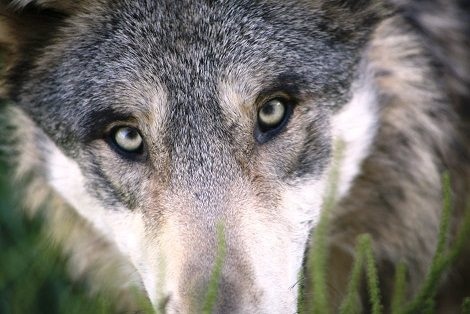 Face of a grey wolf